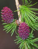 19-larch msolata